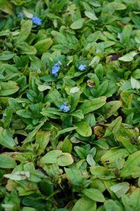 Garten-Sumpf-Vergissmeinnicht • Myosotis palustris Thüringen