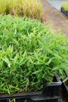 Zwerg-Bambus • Pleioblastus pygmaeus var distichus
