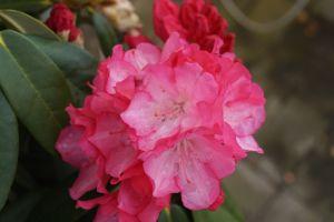 Rhododendron Fantastica • Rhododendron yakushimanum Fantastica