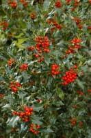 Gemeine Stechpalme • Ilex aquifolium