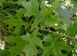 Sumpf-Eiche • Quercus palustris