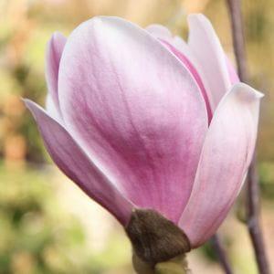 Magnolie Satisfaction • Magnolia Satisfaction