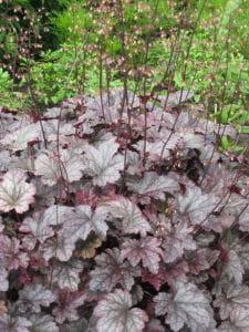 Garten-Silberglöckchen Plum Pudding • Heuchera micrantha Plum Pudding