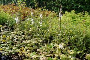 Ahornblättrige Garten Silberkerze • Cimicifuga japonica var.acerina Compacta