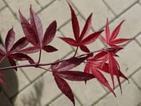 Fächerahorn Roter Stern • Acer palmatum Roter Stern