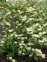 Japanischer Schneeball • Viburnum plicatum tomentosum
