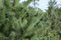 Blaue Zirbelkiefer • Pinus cembra Glauca