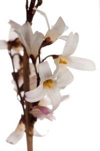 Rosenforsythie • Abeliophyllum distichum Roseum