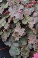 Garten-Silberglöckchen Rachel • Heuchera micrantha Rachel