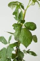 Brombeere Theodor Reimers • Rubus fruticosus Theodor Reimers