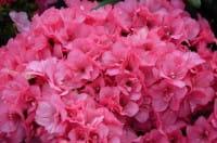 Japanische Azalee Anouk • Rhododendron Anouk