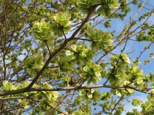 Feldulme • Ulmus carpinifolia