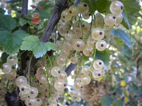 Weiße Johannisbeere Weiße Beste • Ribes rubrum Weiße Beste