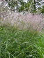 Garten-Chinaschilf Silberfeder • Miscanthus sinensis Silberfeder