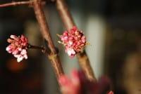 Winterschneeball • Viburnum bodnantense Charles Lamont