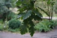 Zerr-Eiche • Quercus cerris