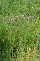 Schwanenblume • Butomus umbellatus