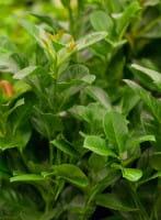Kirschlorbeer Etna • Prunus laurocerasus Etna®