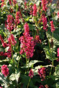 Garten Kerzenknöterich • Bistorta amplexicaulis Speciosa