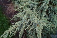 Kriechwacholder • Juniperus communis Repanda