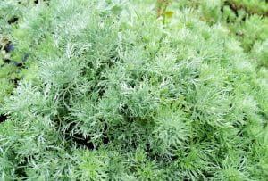 Zwerg Silber-Raute - Artemisia schmidtiana Nana