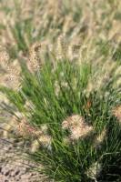 Zwerg-Lampenputzergras Little Bunny • Pennisetum alopecuroides Little Bunny