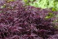 Dunkelroter Schlitzahorn Garnet • Acer palmatum Dissectum Garnet