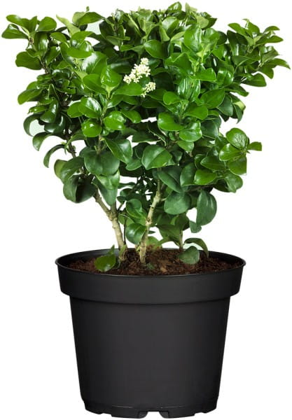 Rundblättriger Liguster • Ligustrum rotundifolia