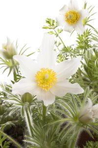Weißblühende Garten-Kuhschelle Alba • Pulsatilla vulgaris Alba