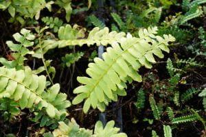 Amerikanischer Weihnachtsfarn - Polystichum acrostichoides