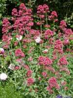 Rotblühende Garten Spornblume • Centranthus ruber Coccineus