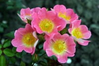Rose Topolina • Rosa Topolina