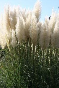 Kleines Garten-Pampasgras • Cortaderia selloana Pumila