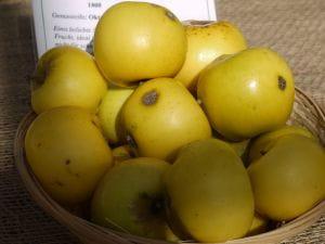 Apfel Gelber Edelapfel • Malus Gelber Edelapfel