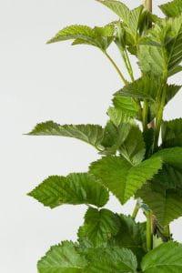 Brombeere Navaho • Rubus fruticosus Navaho
