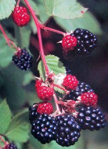 Brombeere Loch Ness • Rubus fruticosus Loch Ness
