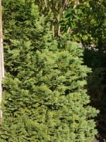 Kegelförmige Gartenzypresse • Chamaecyparis lawsoniana Minima Glauca