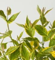 Gelbbunter Hartriegel • Cornus alba Spaethii