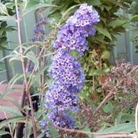 Sommerflieder Nanho Blue • Buddleja davidii Nanho Blue