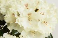 Rhododendron Marietta • Rhododendron yakushimanum Marietta