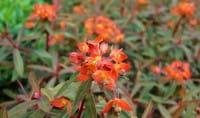 Garten Wolfsmilch Fireglow • Euphorbia griffithii Fireglow
