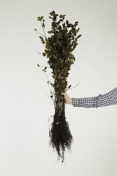Hainbuche • Carpinus betulus