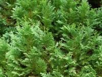 Scheinzypresse Pixie • Chamaecyparis lawsoniana Pixie