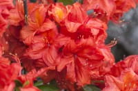 Sommergrüne Azalee Feuerwerk • Rhododendron luteum Feuerwerk