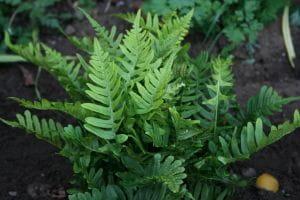 Tüpfelfarn • Polypodium vulgare