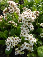 Garten Bergenie Bressingham White • Bergenia cordifolia Bressingham White