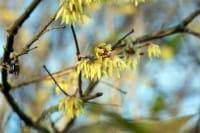 Chinesische Winterblüte • Chimonanthus praecox