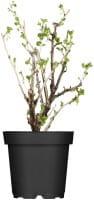 Stachelbeere • Ribes uva-crispa