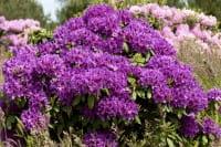 Rhododendron Azurro • Rhododendron Hybride Azurro