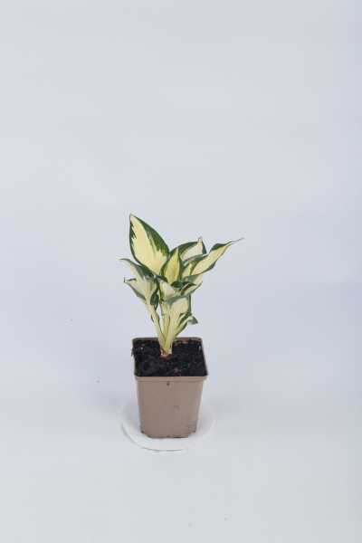 Garten-Funkie Fire and Ice • Hosta x fortunei Fire and Ice